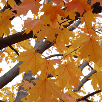 Yellow-leaves-Square